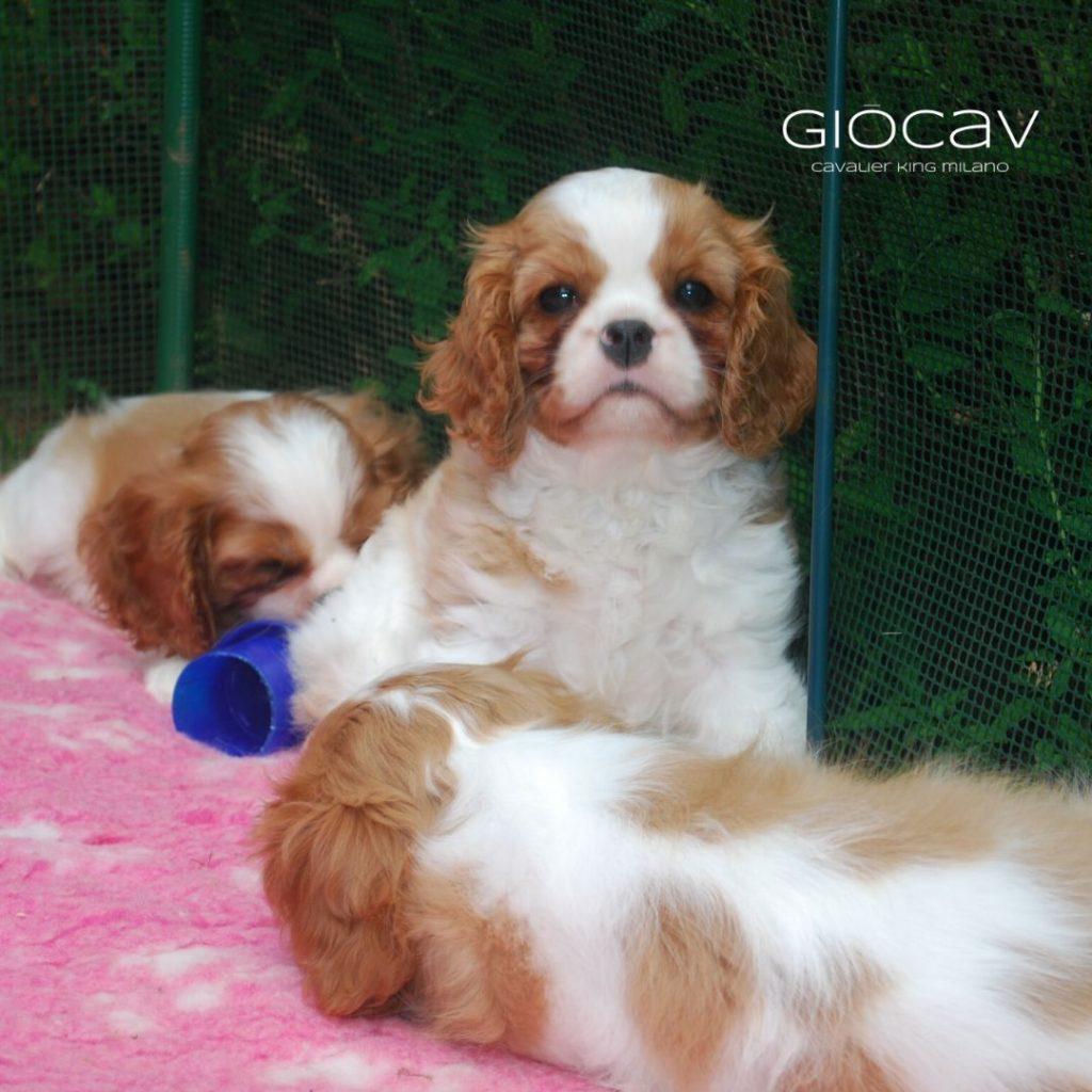 cuccioli-giocavalier