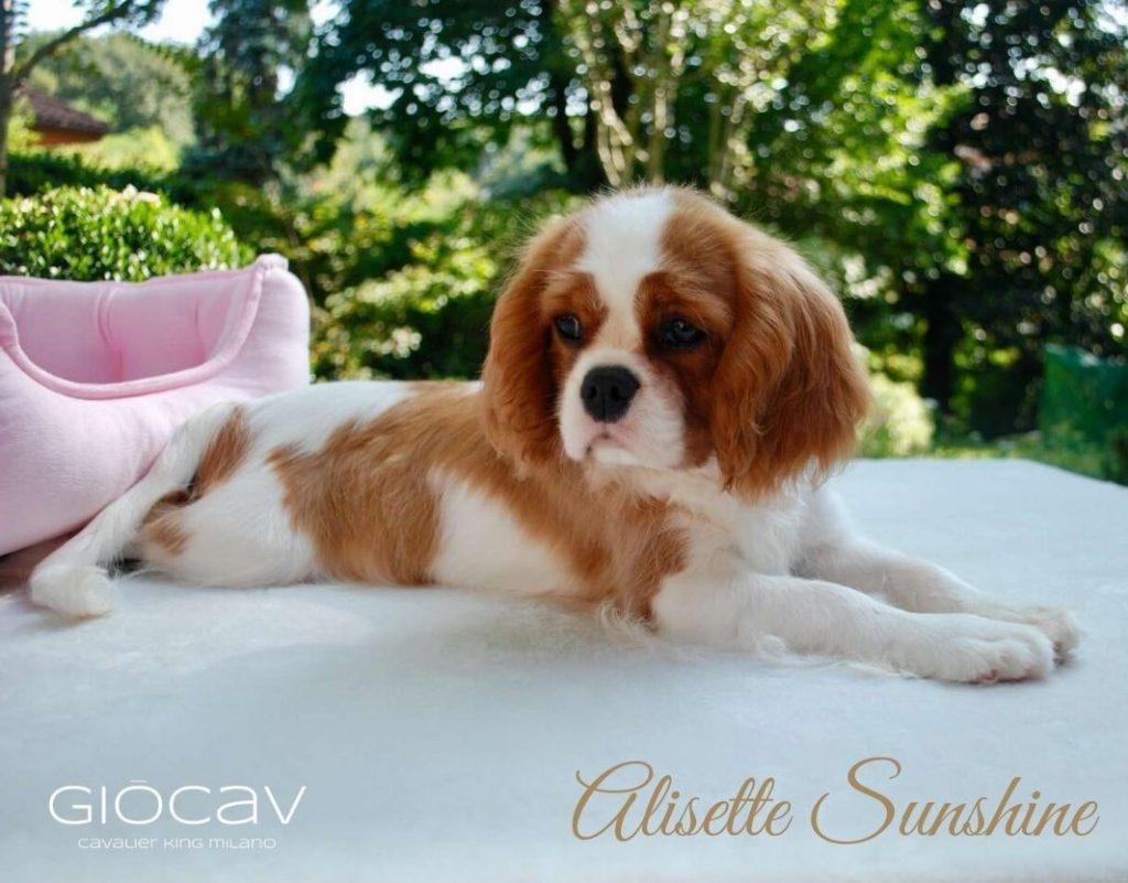 alisette-cavalier-king