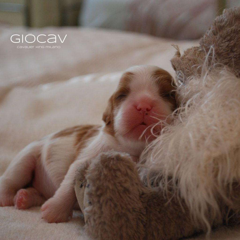 puppies-cavalierking