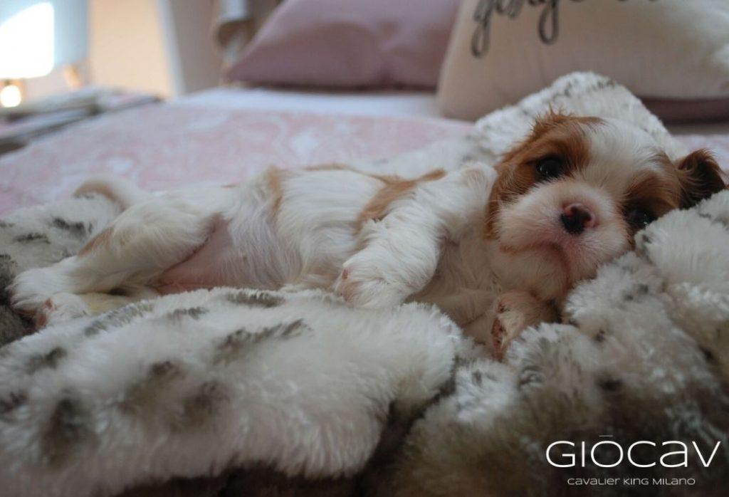 gio-cav-cuccioli